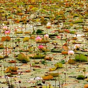 Cambodia: Flowers on Lake