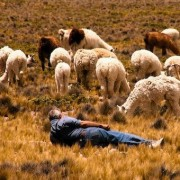 Alpacas in Andeans, Peru